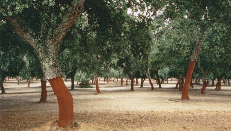 Quercus preocupada com abate ilegal de sobreiros na Tapada Nacional de Mafra
